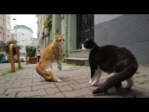 Stray Cats Fighting Like Tom and Jerry - Istanbul - 4K UHD 2160p