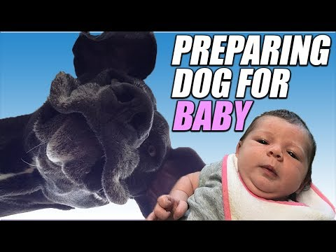 How To Prepare your Dog For a New Baby | 140 Pound Great Dane