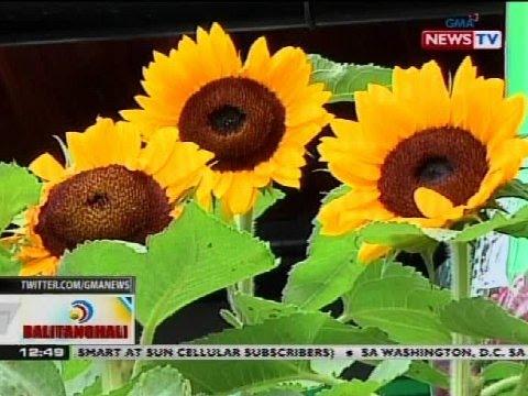 BT: Sunflower Garden, atraksyon sa San Andres, Romblon