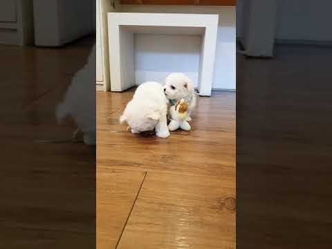 A  cute little bichon frise video lovely puppy bichon  - Teacup puppies