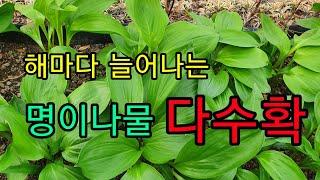텃밭 명이나물 산마늘 수확