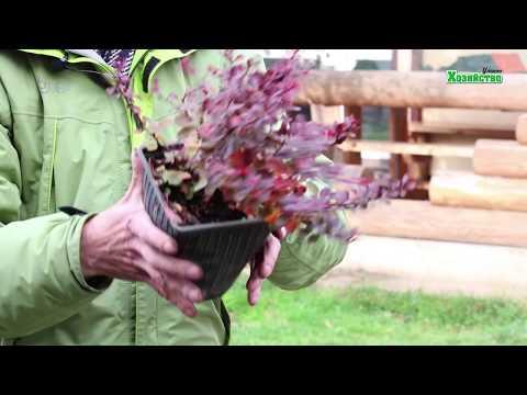 Как правильно сажать барбарис осенью