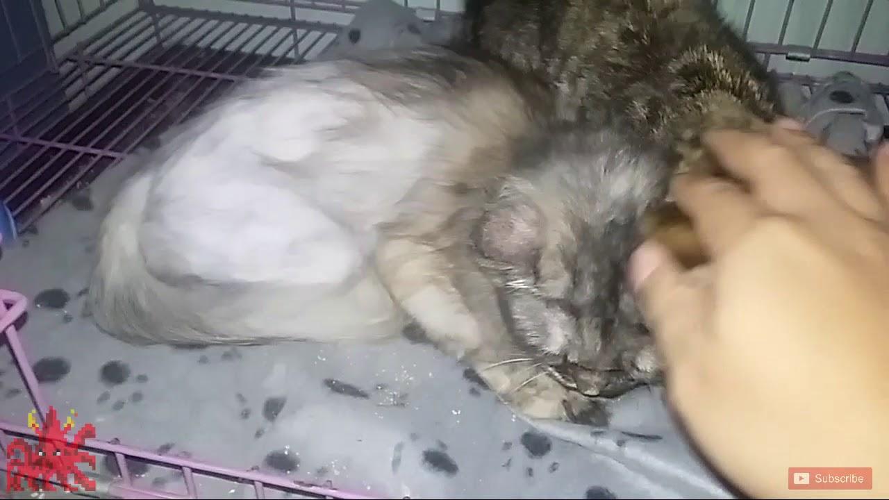 Penyebab Bulu Kucing Rontok Cara Mengatasinya Youtube
