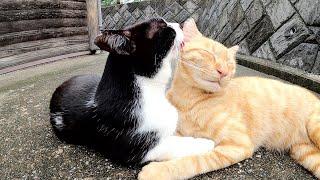 【猫の友情】雨に濡れた猫達がお互いの体を舐め合う