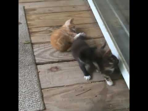 Our Kittens Playing