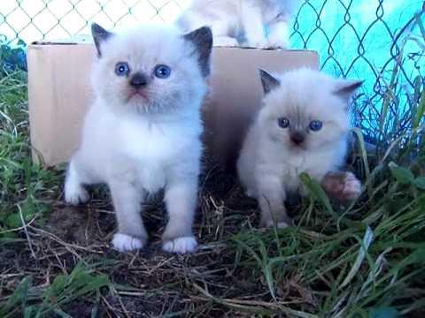 Azula's Snowshoe Himalayan Manx kittens 4-22-12.MP4