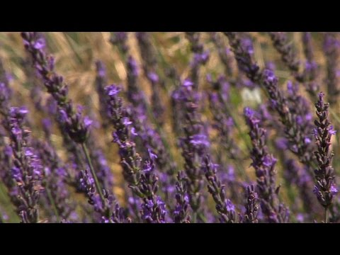 Pleasant Valley Lavender Offers the Plants in New Jersey