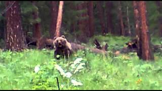 Охота. Медведь напал на охотников(Суровые Тувинские охотники поймали медведя в петлю. Пришли его добирать, а он порвал стальной трос и бросил..., 2014-08-04T02:09:25.000Z)