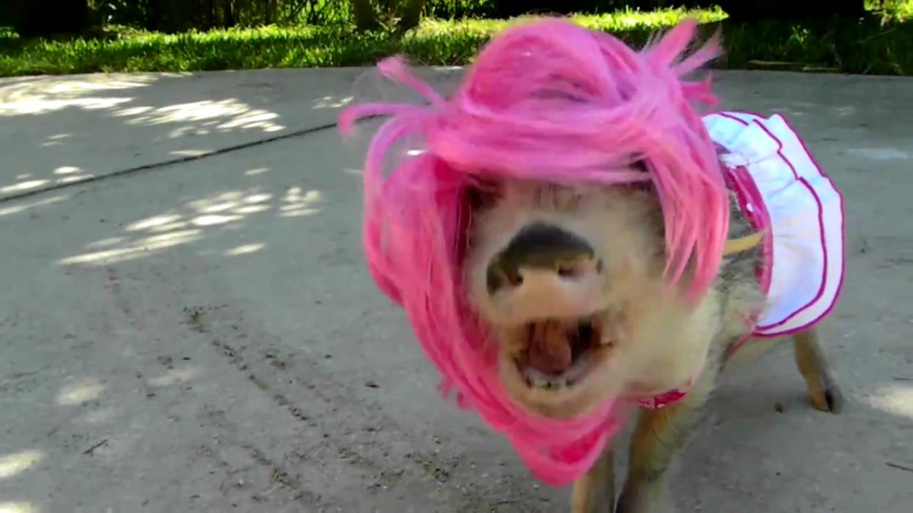 Pig In A Wig 106