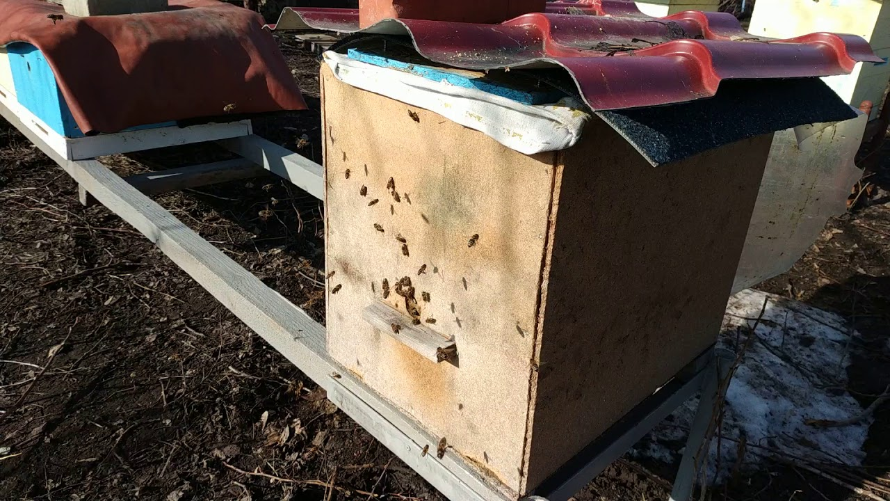 Как зимует пчелосемья в фанерном ящике, первый облет