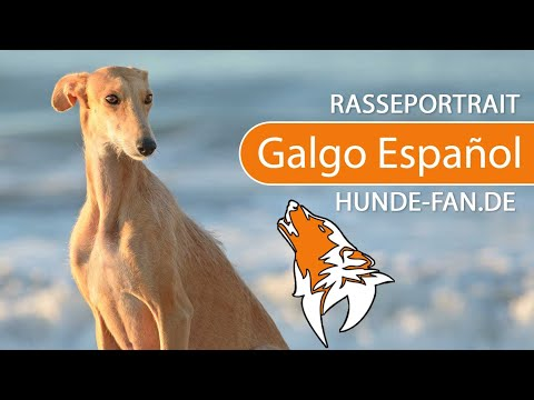 Spanish Greyhound [2018] Breed, Appearance & Character