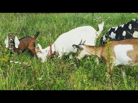 Интересности о козах. Интересные факты.