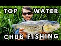 BIG Chub On Topwater Surface Lures In UK Rivers!