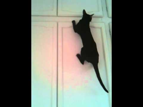 Oriental Cat Thinks She's Spiderman