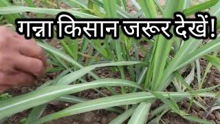 ये करे गन्ने में मिलेगा बेहतरीन फूटाव|best Tillering in sugarcane|ganne ki kheti|गन्ने की खेती