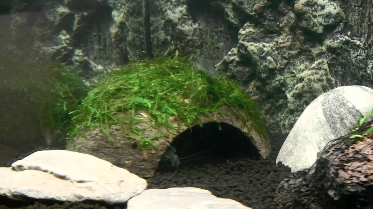 Shrimp Cave with Java Moss in Fluval Ebi