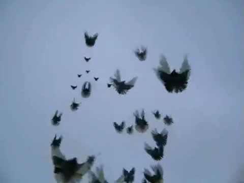 Голуби николаевские olx. Ua. Цена от (грн. ) цена до. Продажа птиц голуби николаевские. Продам николаевских голубей (2. 500гр -один голубь).