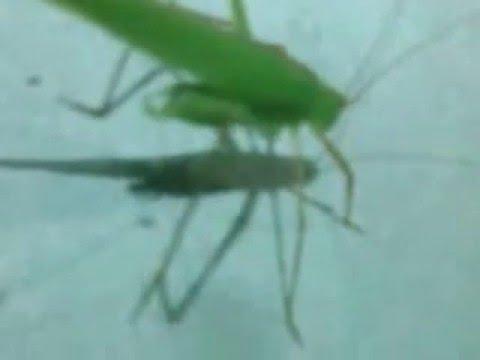 grasshopper hoist /belalang kerik(Indonesia)