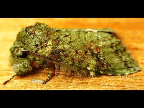 "Alevilla Musgo (Heterochroma berylloides) Moss Moth - ""モス"""