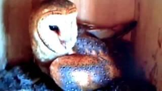 Barn Owl Nesting Box--3minutes 21 Seconds