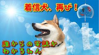 【京の柴犬】てんちゃんは誰からの電話か分かっている!着信犬再び(笑) 太郎の犬モノガタリ#257