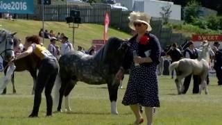 Merlod Mynydd Cymreig - Ebol Tair | Welsh Mountain Ponies - Colt 3 yr