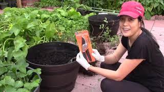 Vườn rau  New York : Trồng cây việt quất sau nhà 😁