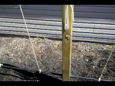 Hops trellis - April 23rd - Planting