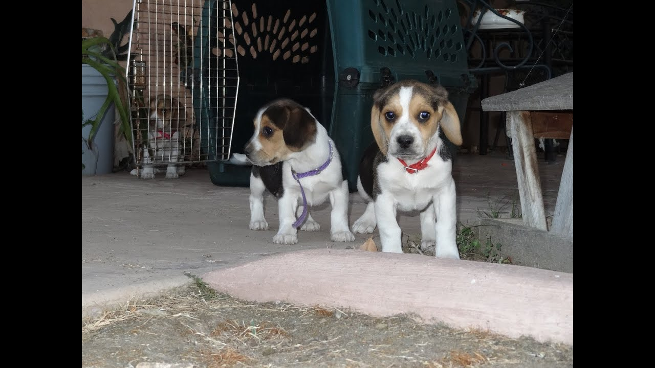 Cute beagle puppies playing funny puppy beagles running pets 8 cute beagle puppies playing funny puppy beagles running pets 8 weeks old video youtube voltagebd Image collections