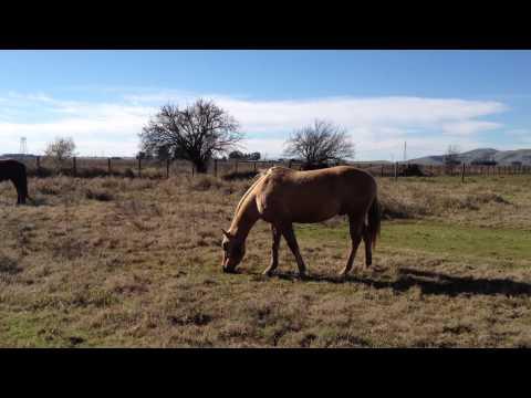 Good Horse Started to Bite Owner-  Why- Normal Horse Behavior- Rick Gore Horsemanship