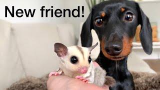 we-have-a-new-friend-dachshund-sugar-gliders