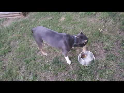 American bully raw diet for dogs