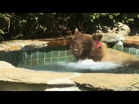 Bear takes a quick dip in a California man's hot tub