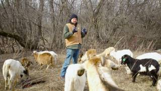 Winter Grazing of Goats - Minnesota Department of Agriculture Grant - Part 1 of 2 Year 2016