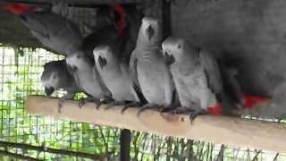 Попугаи Жако вольерного содержания для разведения