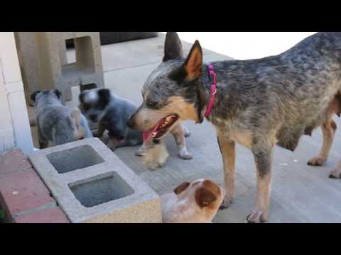 Weeks 5 Australian Cattle Dog Miniature Puppies Heeler With Each Other