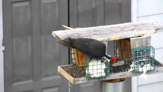 Pileated Woodpecker Remodeling Bird Feeder