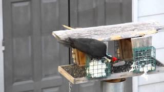 Pileated Woodpecker remodeling bird feeder