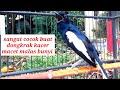 Kacer Gacor Ngeplong Satu Ini Sangat Cocok Buat Pancingan Kacer Macet Malas Bunyi Jadi Gacor  Mp3 - Mp4 Download
