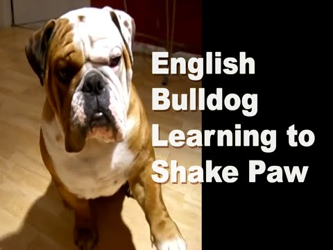 English Bulldog Learning To Shake Paw