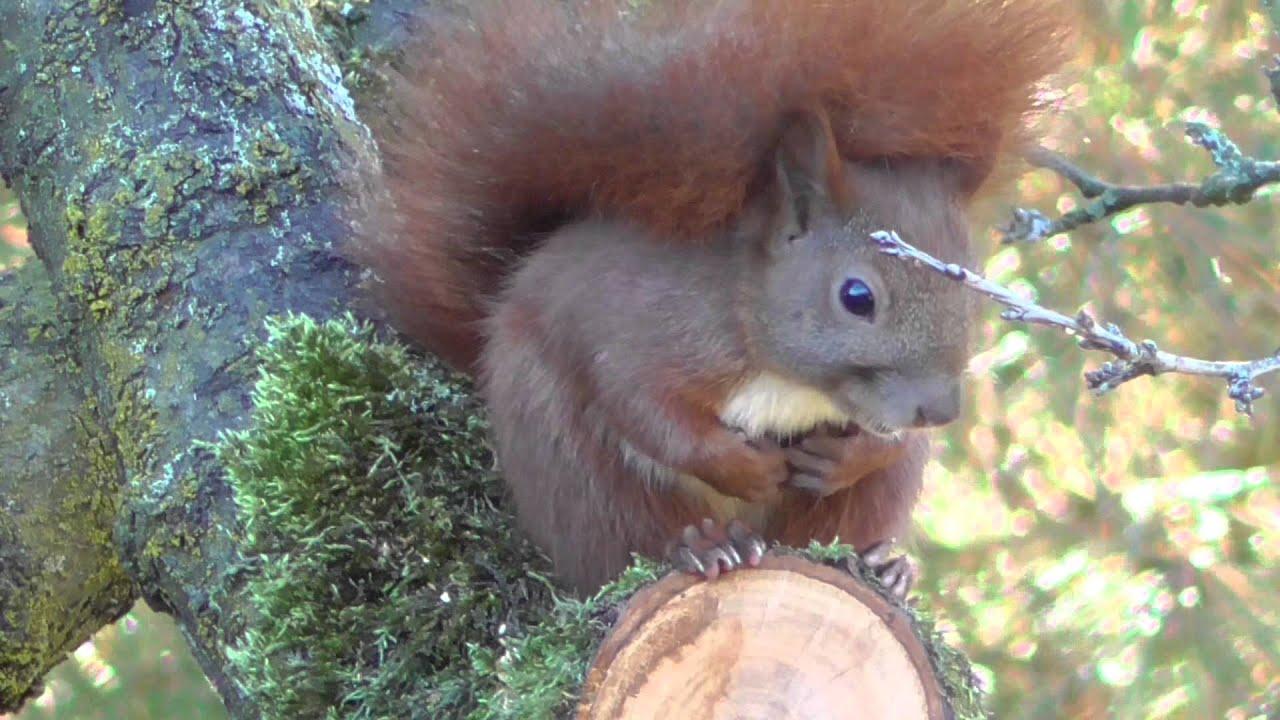 Das Eichhörnchen Arbeitsblatt : Das eichhörnchen sciurus vulgaris youtube