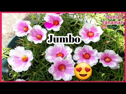 Bunga Moss Rose Giant Grandiflora Bunga Krokot Portulaca Ukuran Besar Youtube