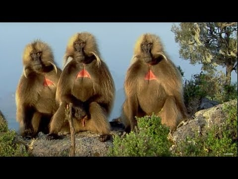 Defending a Monkey Harem | Clever Monkeys | BBC Earth