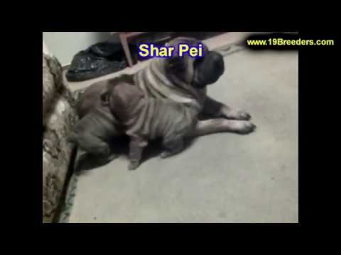 Shar Pei, Puppies, Dogs, For Sale, In Hempstead Town, Borough, New York, NY, 19Breeders, Islip