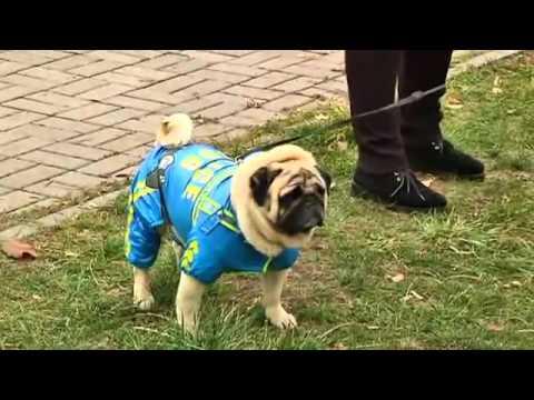 Top Pug Canine Adorable Dog - hqdefault  Picture_757325  .jpg