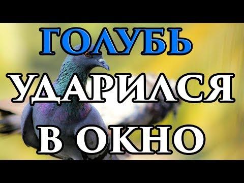 Если голубь ударился в окно и улетел - примета 🧙 - Маг Fose