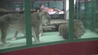 円山動物園のライオン夫婦、リッキー(オス/7歳)とティモン(メス/13歳)。...