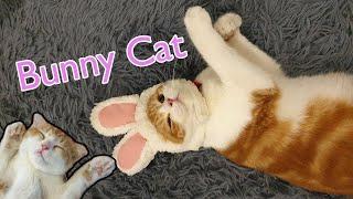 "Scottish Fold Cat ""Amber""    Happy Valentine's Day Bunny Cat ~ สุขสันต์วันวาเลนไทน์บันนี่แมว"