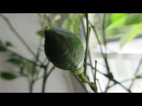 Лимон МЕЙЕР: выращиваем цитрус на окне, в домашних условиях \ Lemon Meyer: Home Care and Maintenance