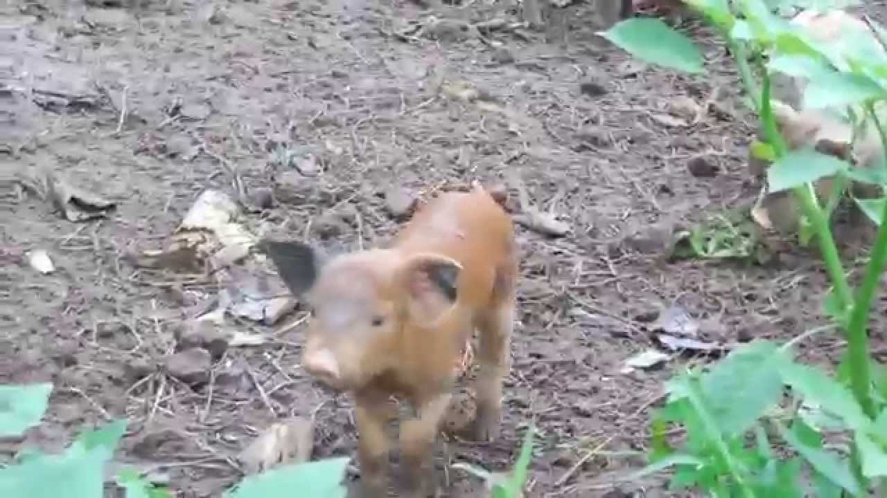 Cute Baby Piglets Playing. Cutest Pigs ever. Man Playing ...